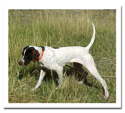 photo of Pointer named Grit - for sale